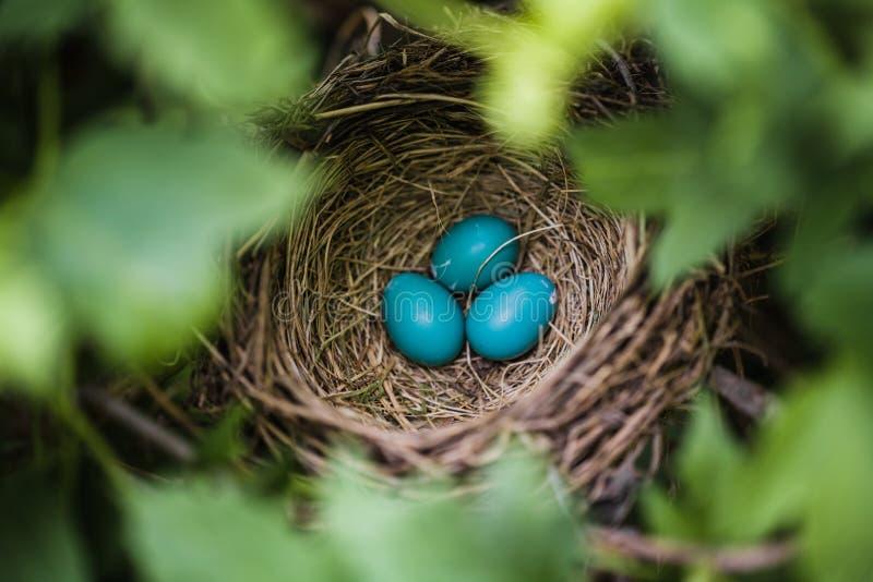 Robin Eggs azul en una jerarquía imagen de archivo