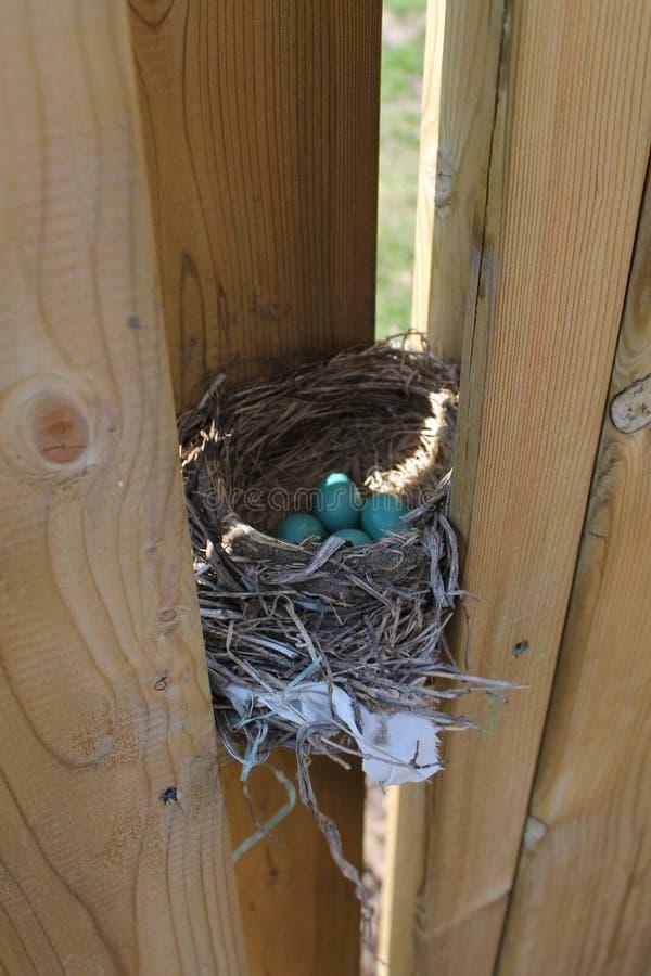 Robin Eggs In Nest royalty-vrije stock afbeeldingen