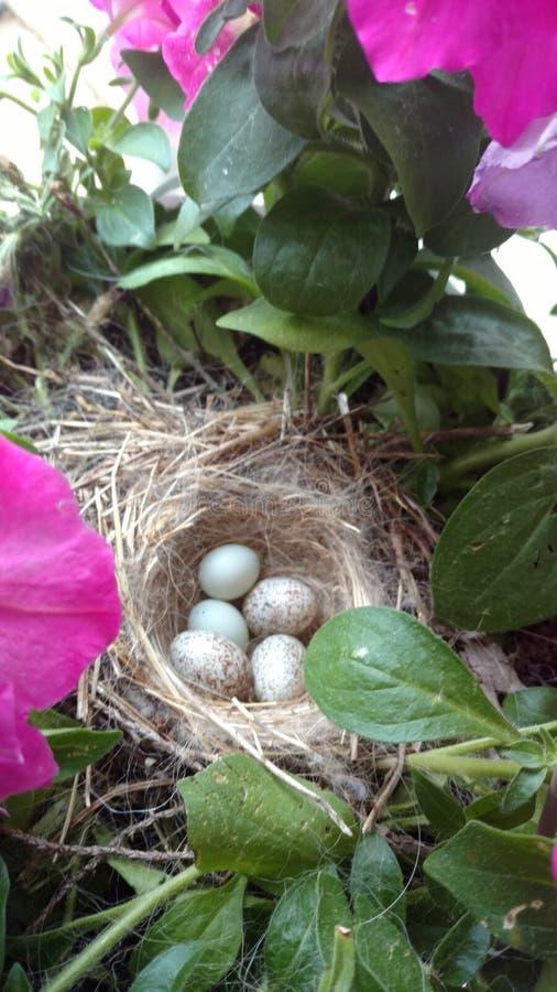 Robin Eggs In Nest royaltyfria bilder