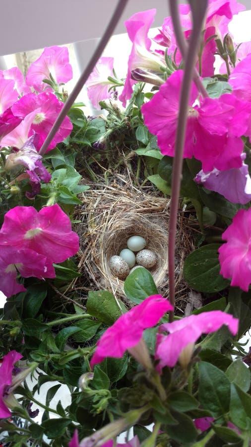 Robin Eggs In Nest arkivfoton