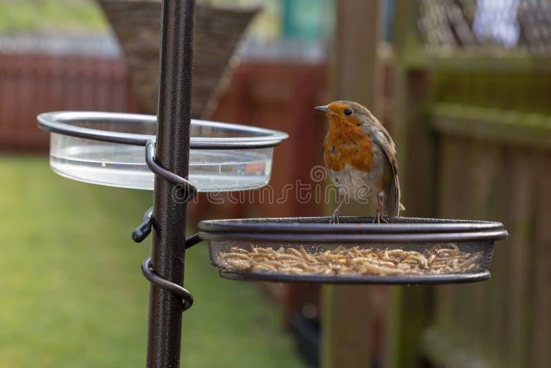Robin an einer Fütterungsstation im Garten im Frühjahr lizenzfreie stockfotos