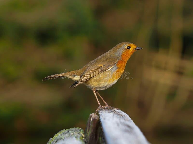 Robin empoleirado num banco no inverno fotografia de stock royalty free