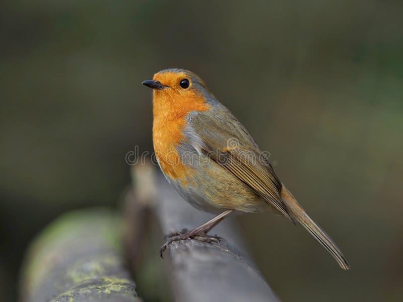 Robin empoleirado num banco no inverno imagem de stock royalty free