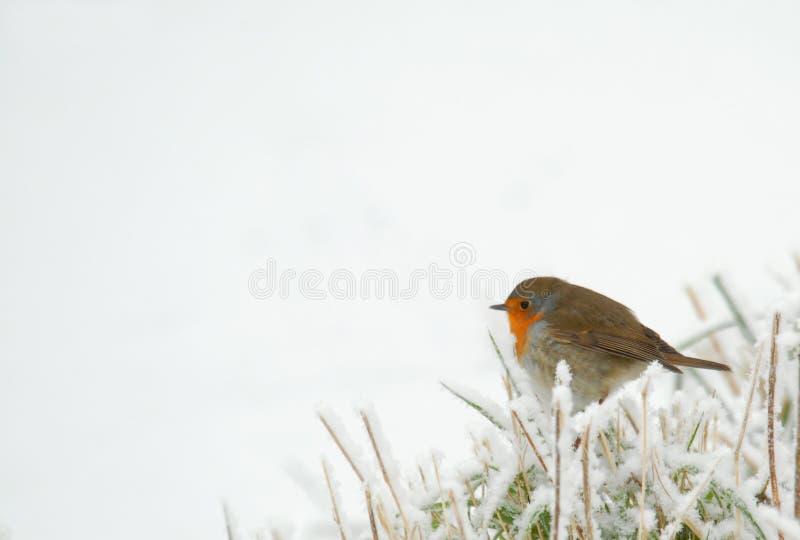 Robin in erba congelata fotografie stock libere da diritti