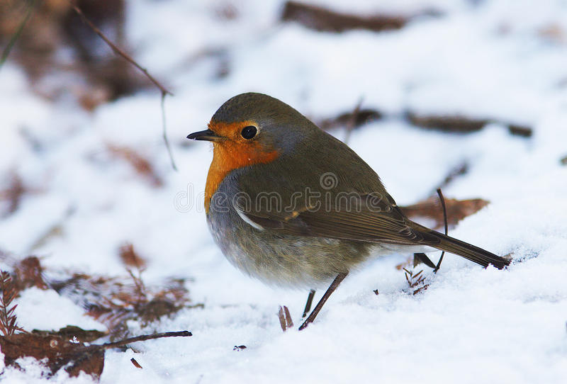 Download Robin / Erithacus rubecula stock image. Image of breast - 12197793