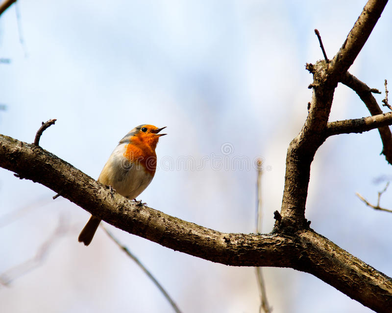 Robin, Erithacus rubecula royalty free stock image