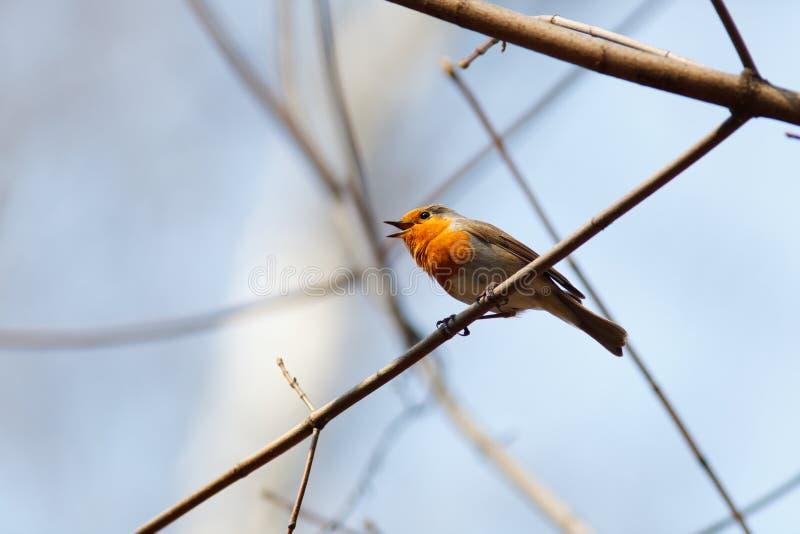 Robin, Erithacus rubecula lizenzfreie stockfotografie