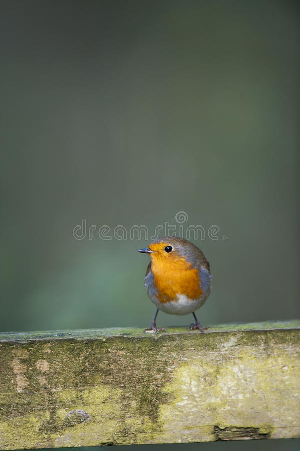 Download Robin (Erithacus Rubecula) Royalty Free Stock Photography - Image: 17726297
