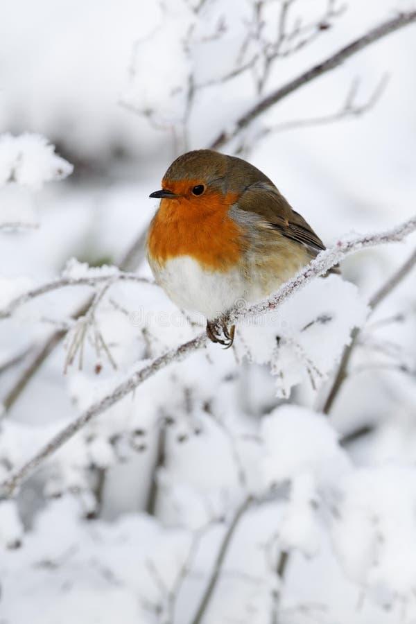 Robin, Erithacus-rubecula stock foto