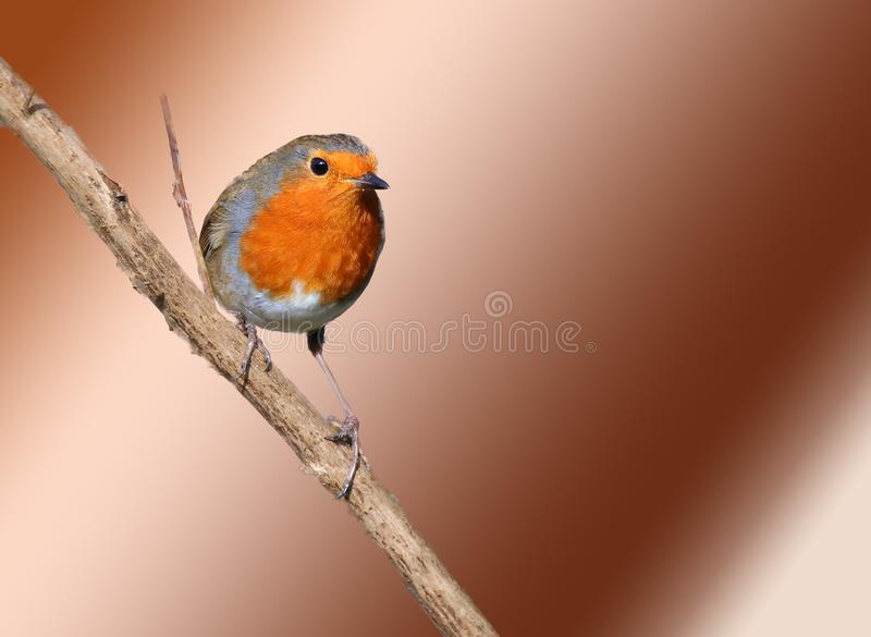 Robin Erithacus rubecula On bronze background. A close up of a robin Erithacus rubecula hanging onto a branch. The small bird is looking towards the camera