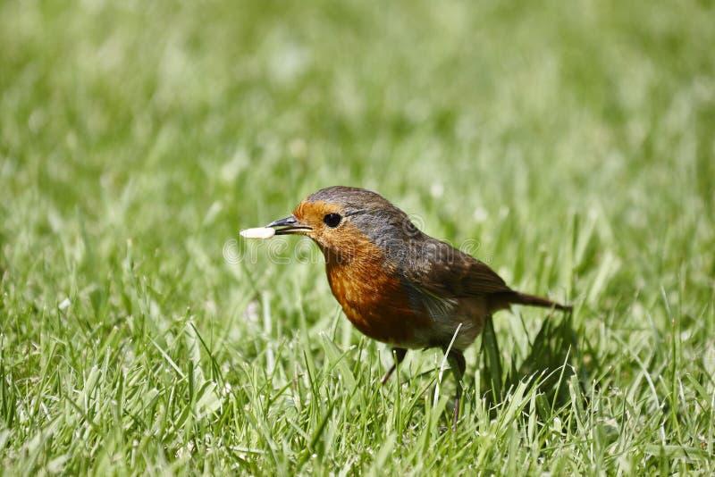 Robin royalty free stock photography