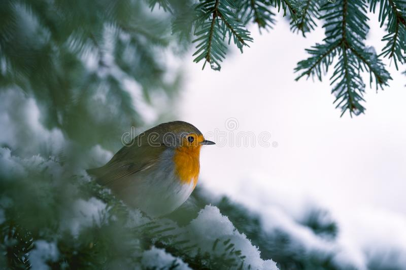 Robin Erithacus rubecula hanging on to a snowy branch of fir tree stock photos