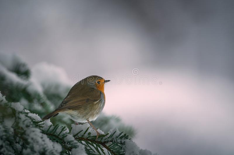 Robin Erithacus rubecula hanging on to a snowy branch of fir tree stock photography
