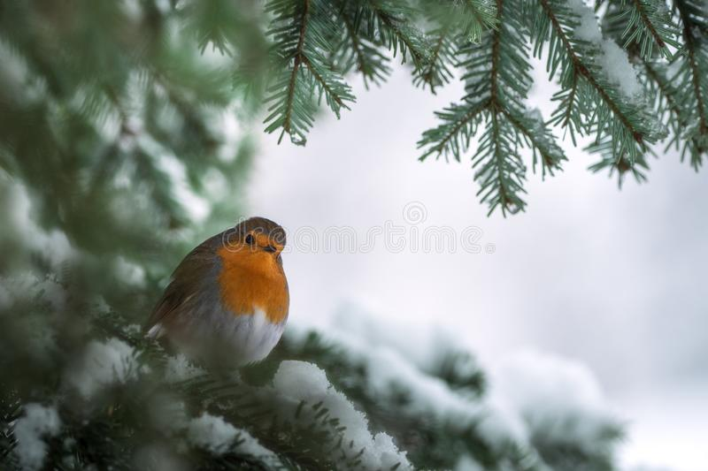 Robin Erithacus rubecula hanging on to a snowy branch of fir tree stock photo