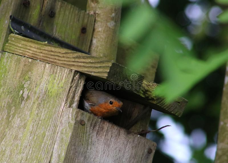 Robin, erithacus rubecula, looking out of nestbox stock images