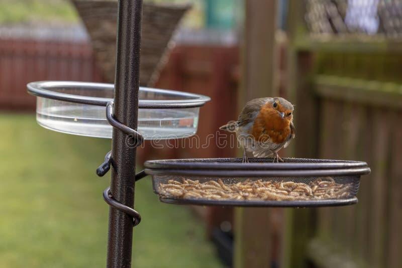 Robin Erithacus Rubecula på en trädgårdfågelförlagematare royaltyfri foto