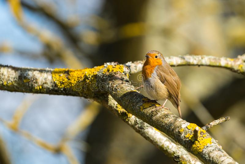 Robin Erithacus rubecula perched on a branch stock photo