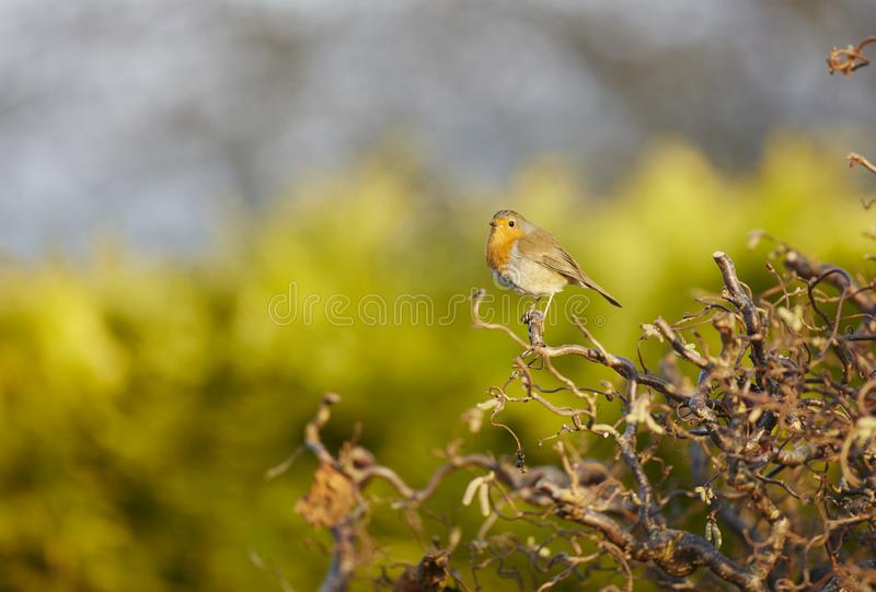 Robin. A Robin,Erithacus rubecula,perched on a contorted Hazel with a plain background stock image