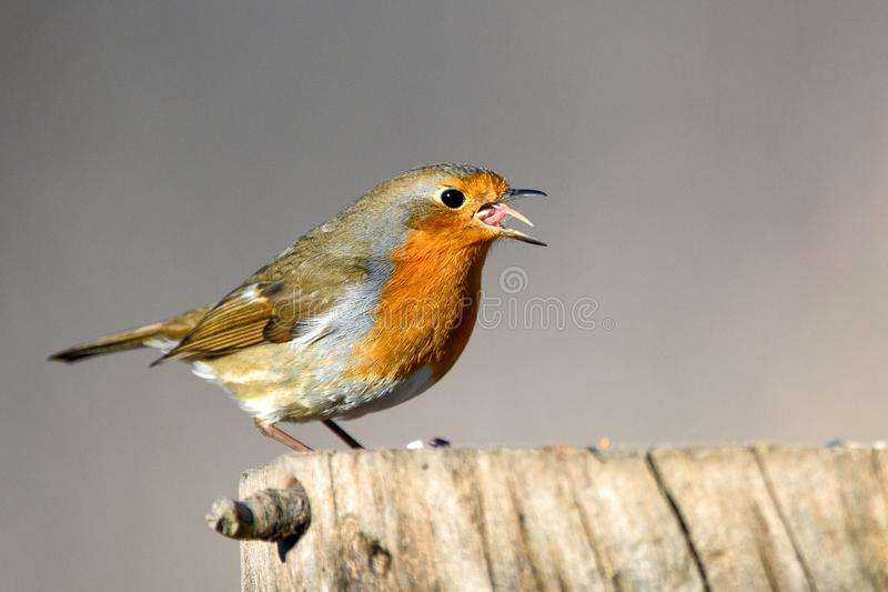 The robin Erithacus rubecula sits on a winter feeding trough. royalty free stock photos