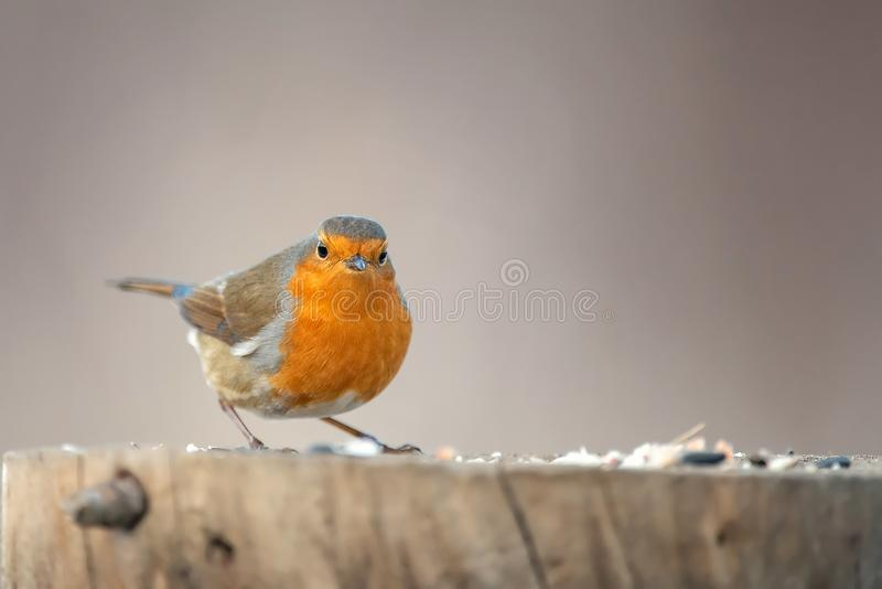 The robin Erithacus rubecula sits on a winter feeding trough. royalty free stock photography