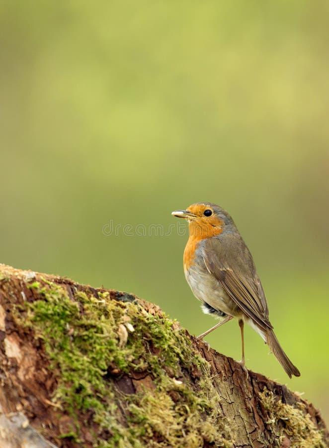 Robin ((Erithacus-rubecula) van zonnebloemzaden in de bek royalty-vrije stock foto