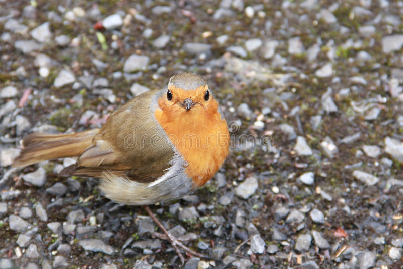 Robin europeo immagine stock