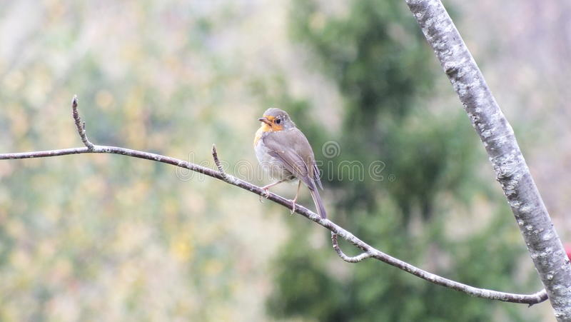 Robin europeo fotografia stock