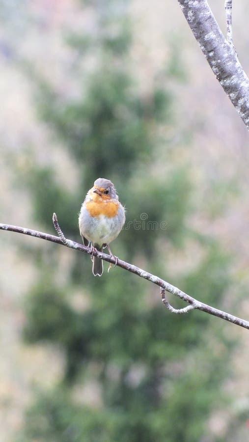 Robin europeo fotografia stock libera da diritti