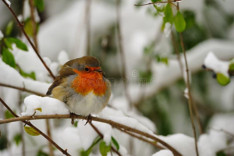 Robin europeo (rubecula del Erithacus) immagini stock