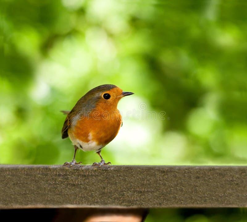 Robin europeo sulla tabella fotografie stock libere da diritti