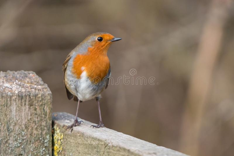 Robin fågel Erithacusrubecula royaltyfria bilder