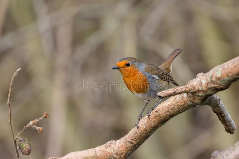Robin fågel Erithacusrubecula royaltyfria foton