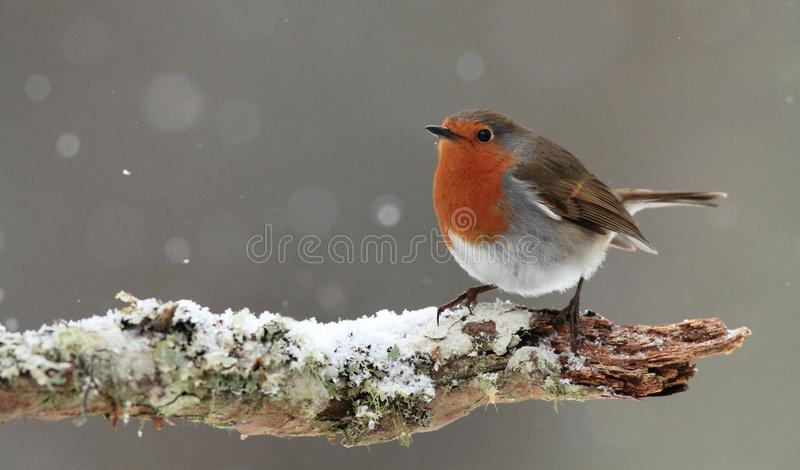 Robin in Falling Snow. A Robin (Erithacus rubecula) sitting on a snow covered branch in winter with falling snow in the background