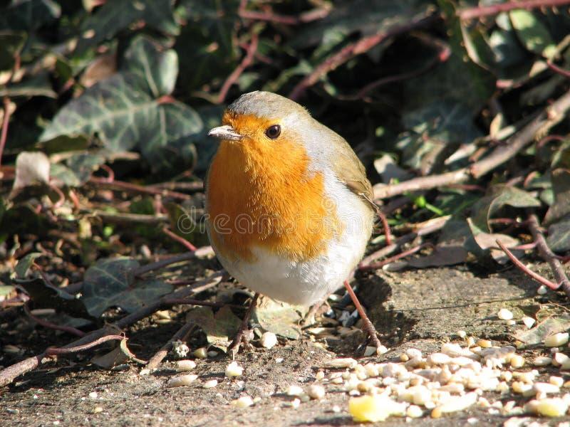 Robin Feeding royalty-vrije stock foto's