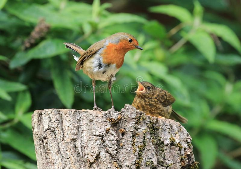 Robin feeding chick stock images