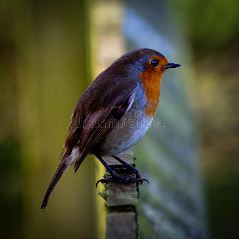 Robin on Fence stock photography
