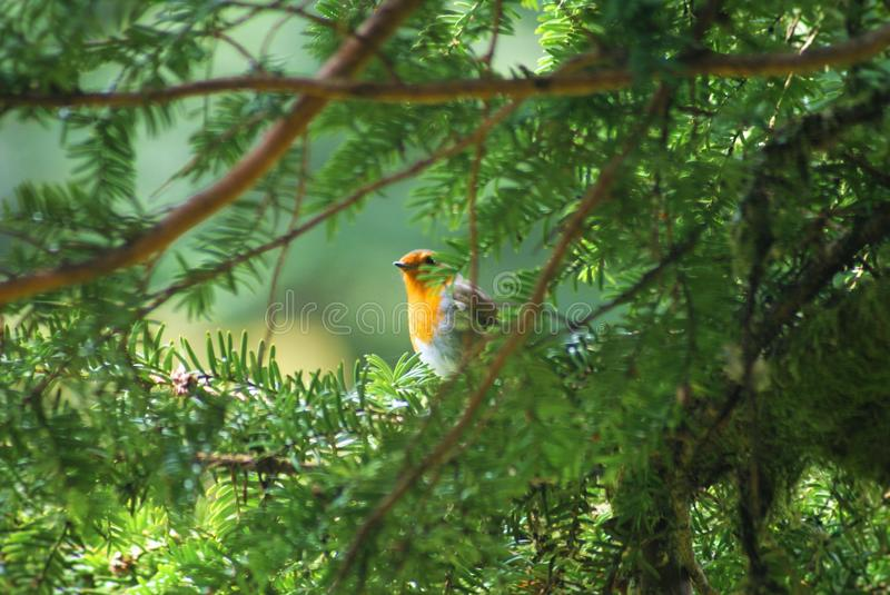 Robin through a fir tree royalty free stock photography