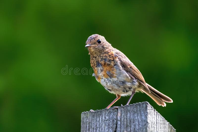Robin fledgling on a post. A young robin fledgling perched on a post with soft light highlighting his feathers and plumage royalty free stock photo