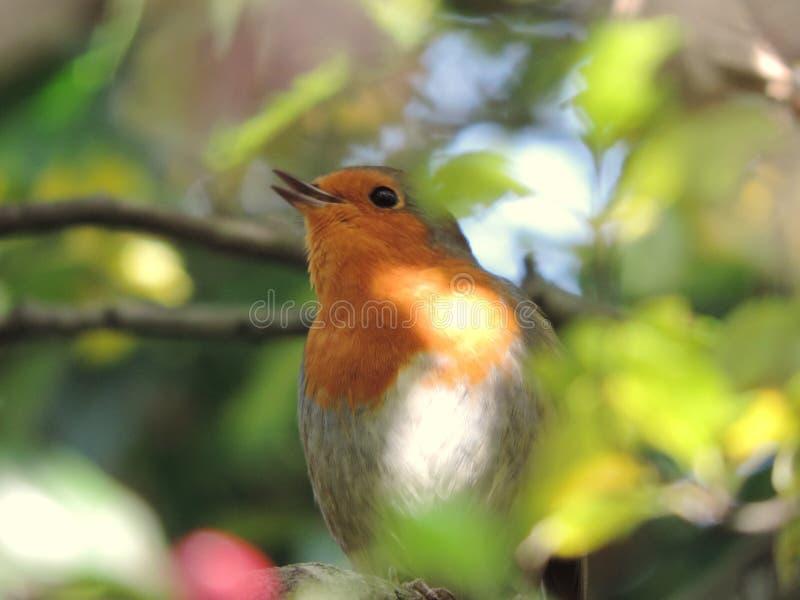 Robin furieux images libres de droits
