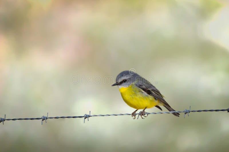Robin giallo orientale selvaggio, roccia d'attaccatura, Victoria, Australia, giugno 2019 immagini stock
