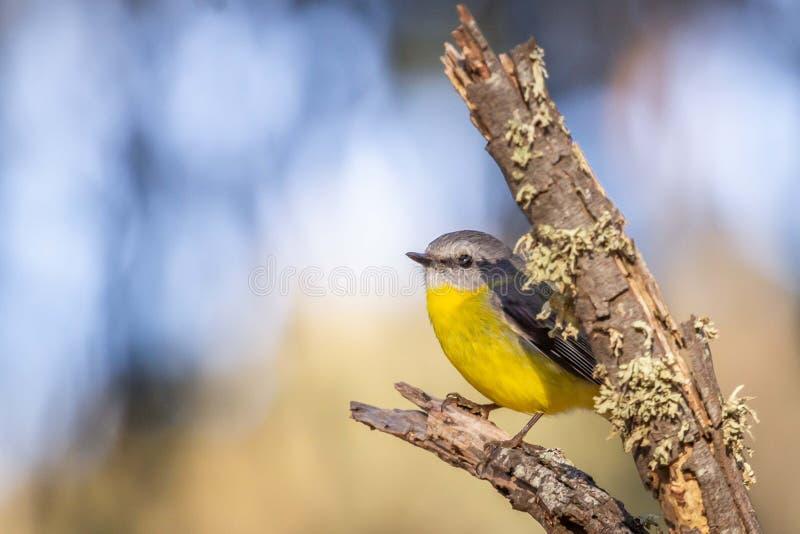 Robin giallo orientale selvaggio, roccia d'attaccatura, Victoria, Australia, giugno 2019 fotografia stock
