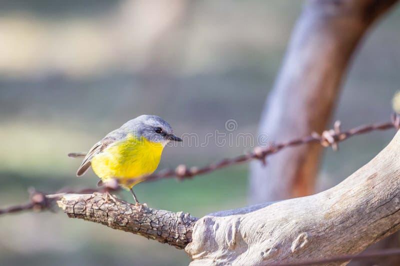 Robin giallo orientale selvaggio, roccia d'attaccatura, Victoria, Australia, giugno 2019 fotografia stock libera da diritti