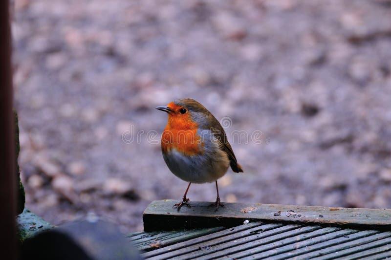 Robin hockte auf Decking stockfotografie