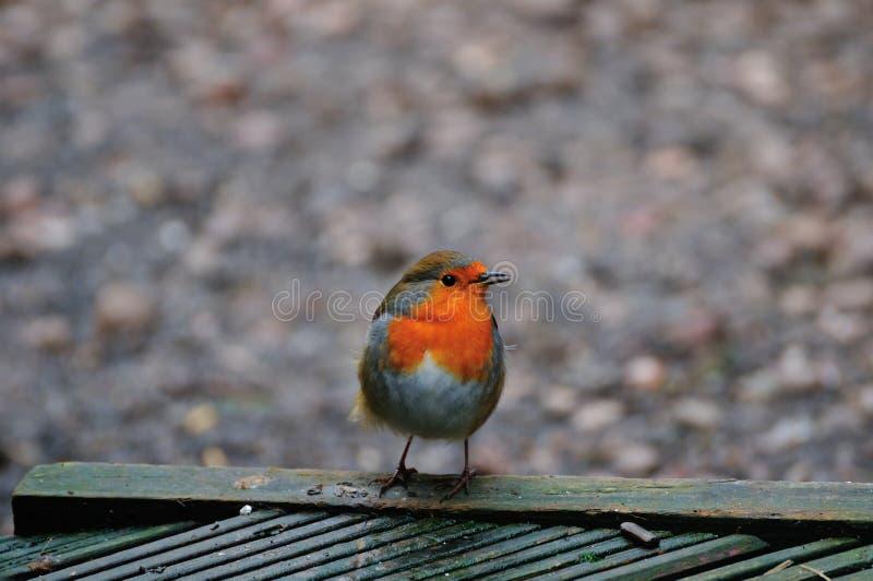 Robin hockte auf Decking stockbilder