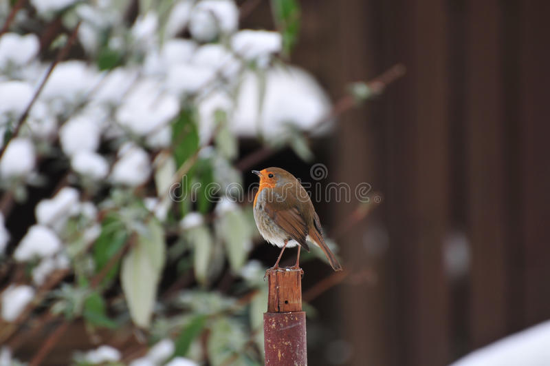Robin hockte auf einem Beitrag lizenzfreie stockfotos