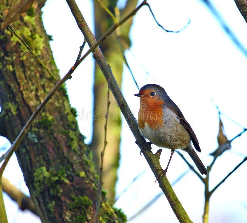 Robin hockte auf einer diagonalen Niederlassung mit Baumstamm im Hintergrund lizenzfreie stockbilder