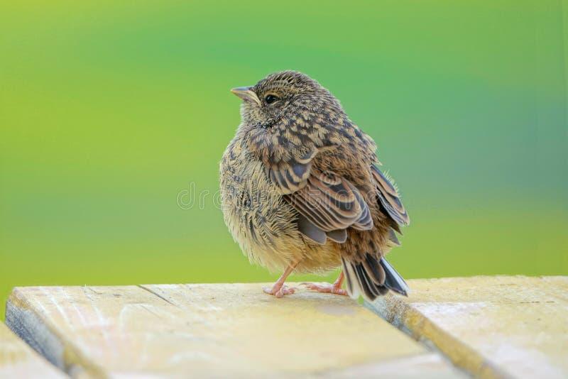 Robin Hodgson Sparrow arkivbild
