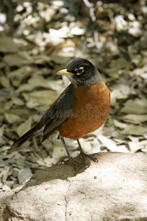 Robin im Frühjahr lizenzfreies stockbild