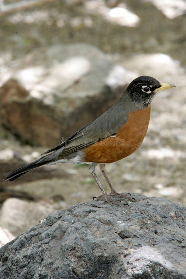 Robin im Frühjahr lizenzfreies stockfoto