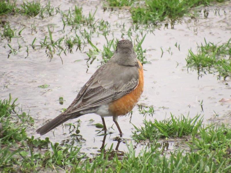 Robin im Wasser stockfotos